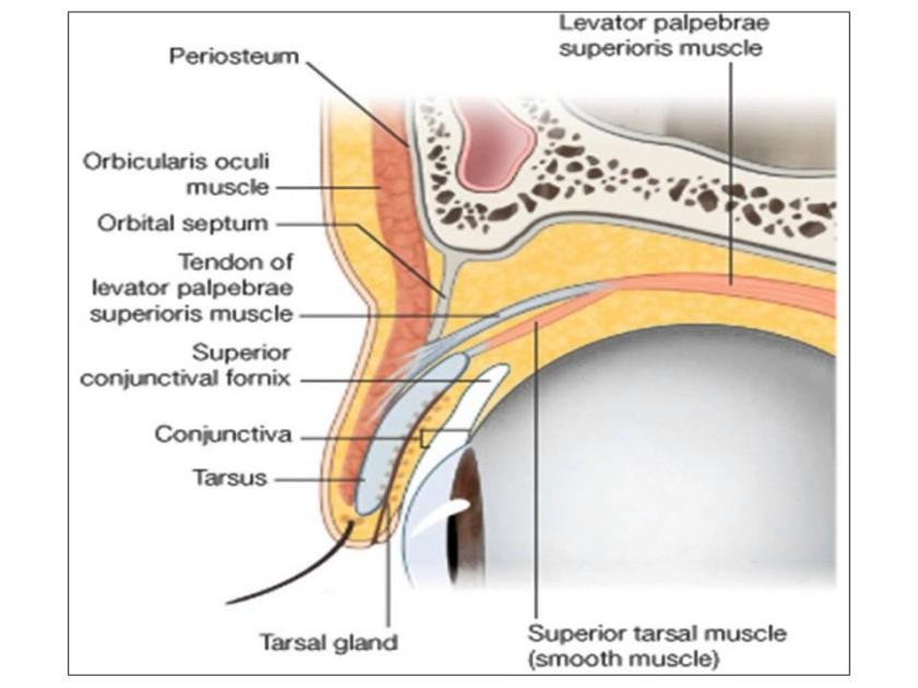 eyelid-anatomy